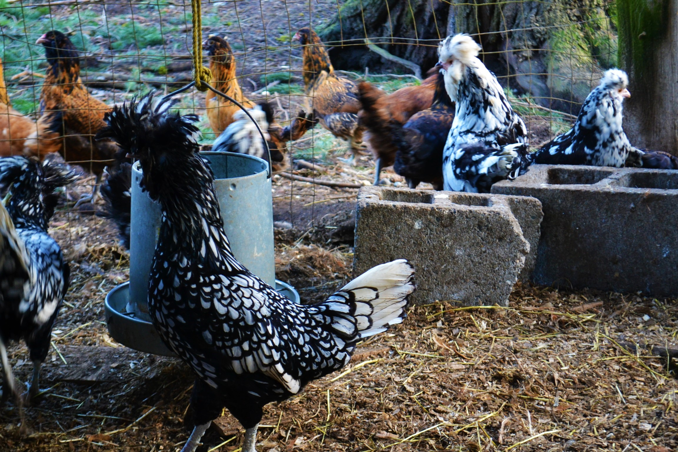 WRF heritage laying hens