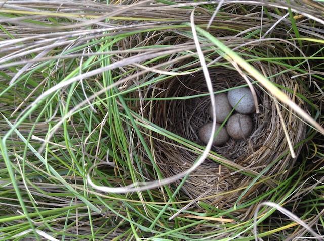 Saltmarsh Sparrow nest