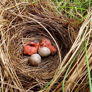 hatchlings and eggs in nest