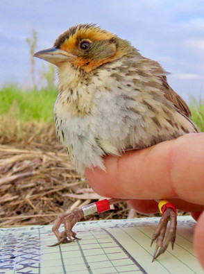 Saltmarsh Sparrow with leg bands