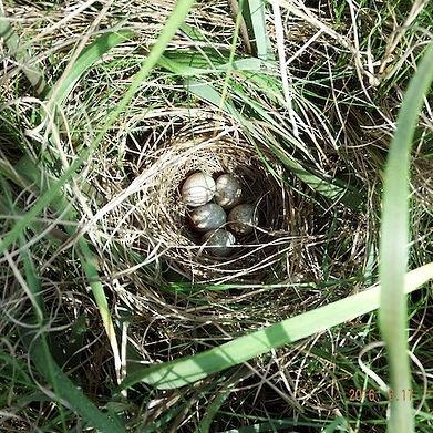 Nest-5-Eggs-Timage4-23-480square.jpg