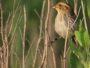 Saltmarsh Sparrow perched