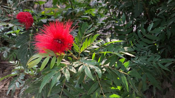 Bobinsana Flower