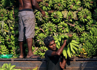 Tropic Biosciences Weighs in on the Race to Save the Banana