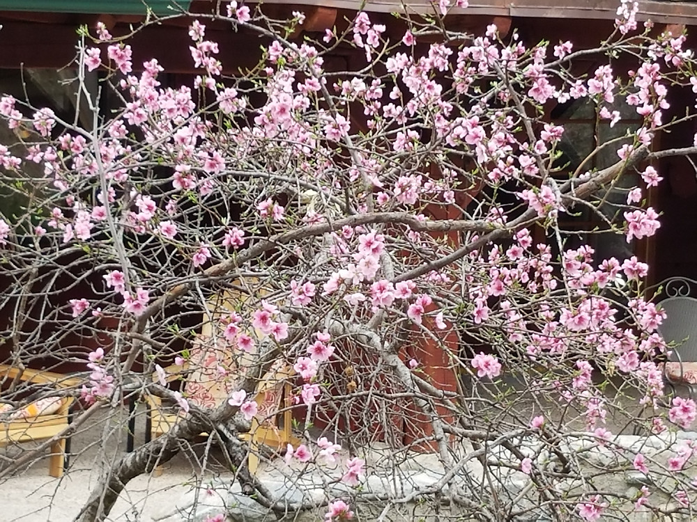 Cherry Blossom Tree: Google the meaning!