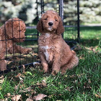 Male.jpg Red f1b golden doodle.jpg Avail