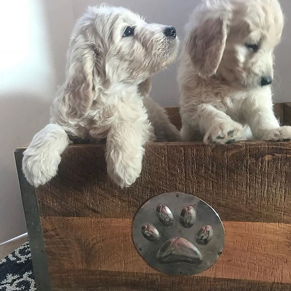 6 week old male F1 golden doodle puppies