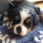 Fopa.jpg Bernese mountain dog.jpg