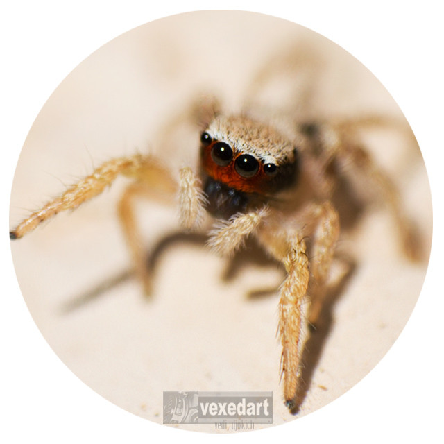Arizona jumping spider | close up insect pictures