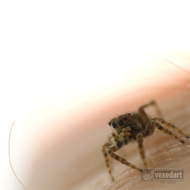 jumping spider beside a human hair | magnification of a spider