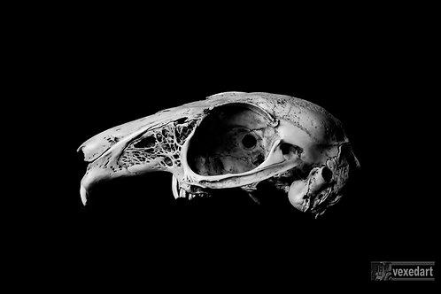 Skull art photography of rabbit skull blakc and white print