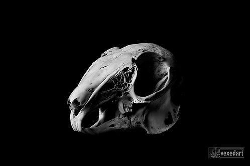 Black and White skull photography, fine art animal skull rabbit bones