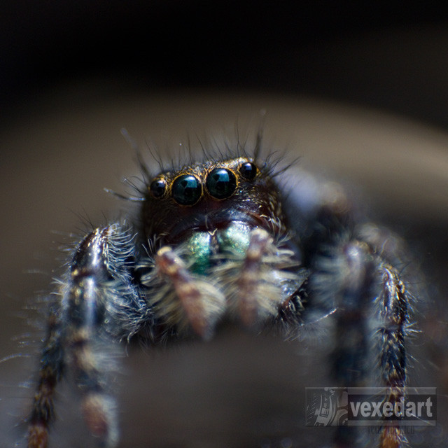 Macro photo of a jumping spider | insect photography