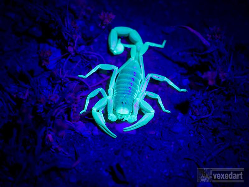 desert scorpion | black light scorpion glowing