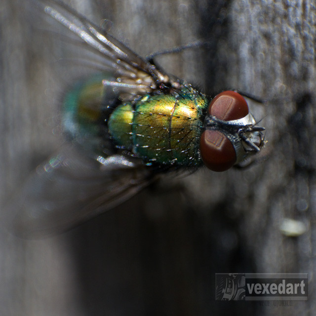 Detail picture of a house fly | red eyes of a fly