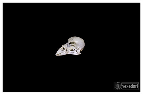 Baby Bird Skull Fine Art Photography for Sale