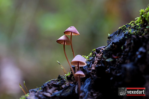 Umbrella Mushroom   Macro Photography