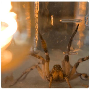 Wolf Spider , Arizona Arachnid