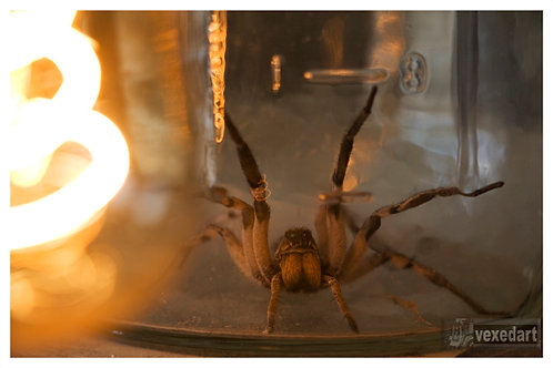 Wolf Spider | large arachnid photo for sale