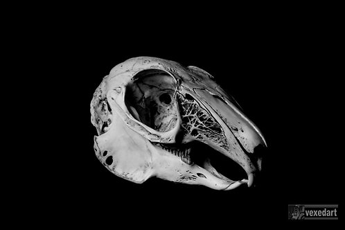 Rabbit skull art print. Skull photography fine art prints