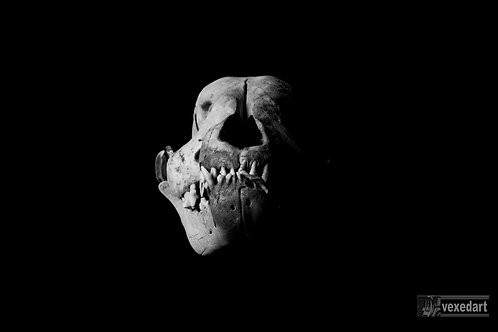 Dog skull picture art. Fine art skull photography.