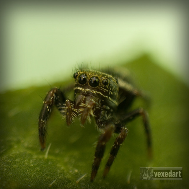 Tiny jumping spider | macro photography of bugs