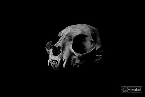 cat skull photography fine art print. Awesome skull art