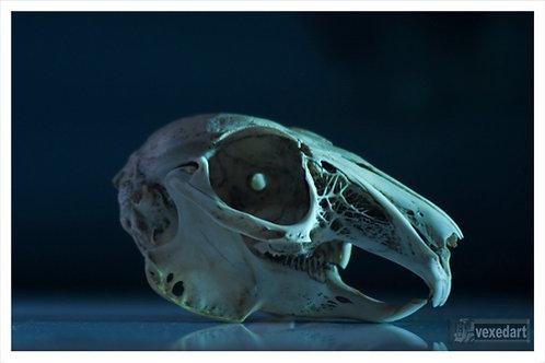 rabbit skull fine art photography | dark art
