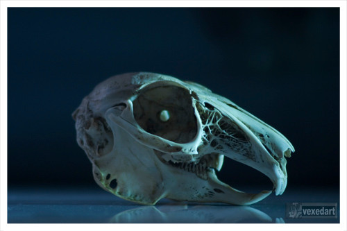 rabbit skull fine art photography