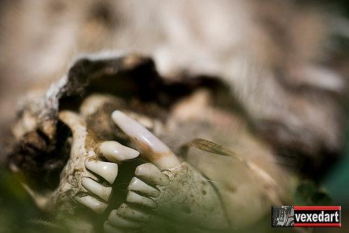 Coyote Teeth | Macro Photography