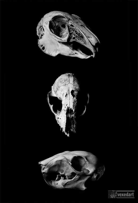 Animal skull art photography prints, skull and bone art prints for sale