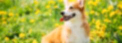 黄色い花畑にいる犬