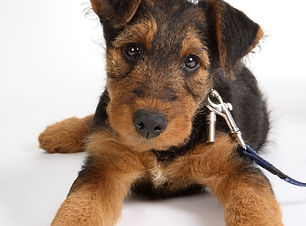 8 weeks old Airedale terrier puppy dog.j
