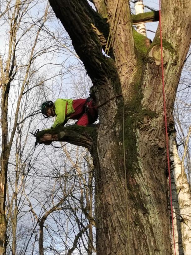 Pirkimas konkurso būdu dėl ekologiniu požiūriu vertingų medžių tvarkymo paslaugų Kauno ąžuolyne