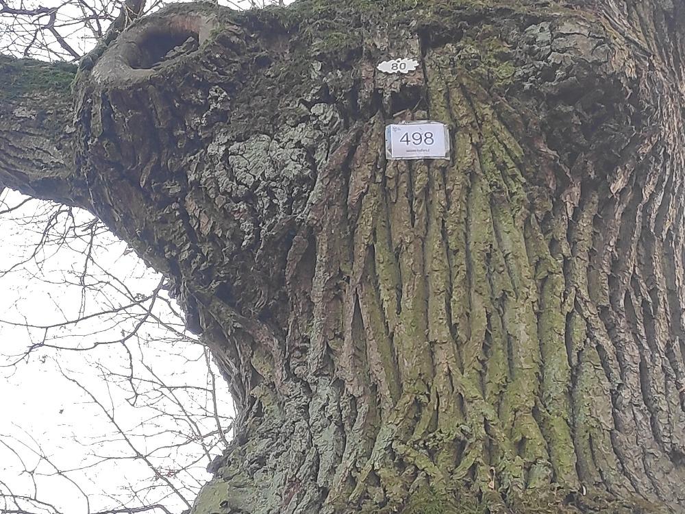 Senų medžių priežiūros darbai Kauno ąžuolyne