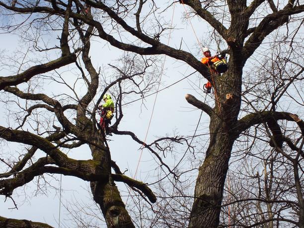 Medžių senolių priežiūros darbai Kauno ąžuolyne