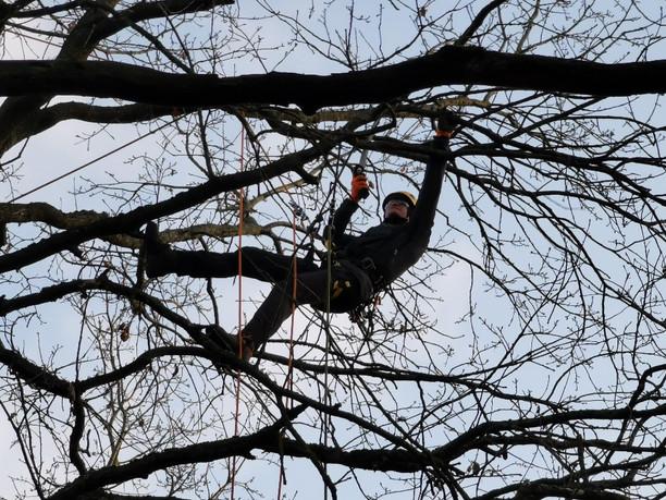 Netrukus bus tęsiami medžių senolių priežiūros darbai Kauno miesto miškuose