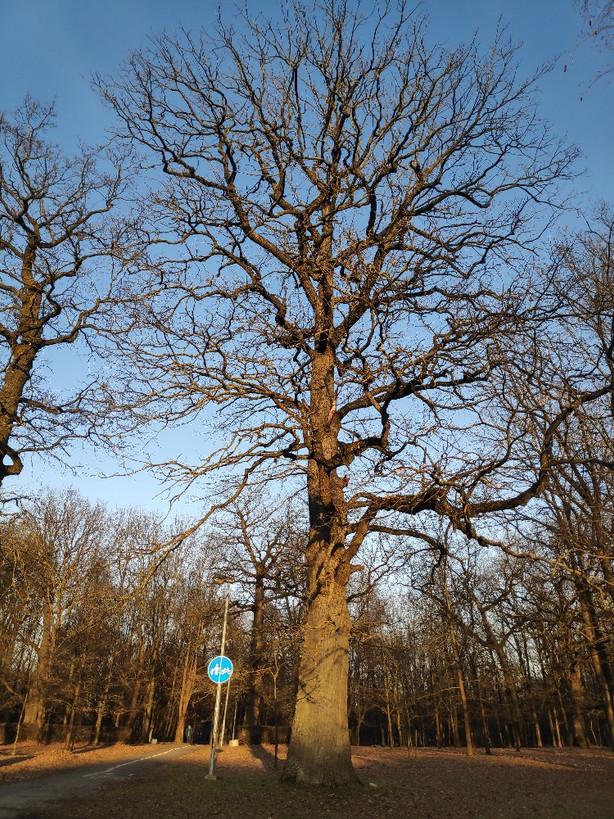 Kauno ąžuolyne pradės dirbti arboristai iš Latvijos