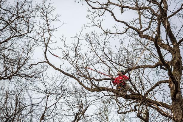 Skelbiamas konkursas 31 medžio arboristiniam tvarkymui BAST Neries upės šlaitas ties Verkiais