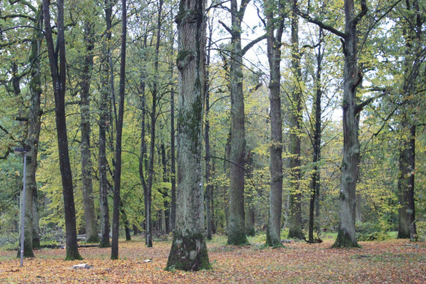 Būtinoji pagalba: specialistai stengiasi išsaugoti senuosius Lietuvos medžius