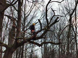 Skelbiamas konkursas 14 medžių arboristiniam tvarkymui Kauno miesto miškuose ir Kauno mieste