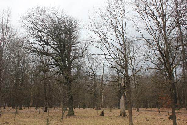 Prieš paukščių perėjimo sezoną Kauno ąžuolyne baigti arboristiniai medžių priežiūros darbai