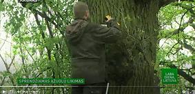 fonas apie Kauno ąžuolyną ir medžių seno