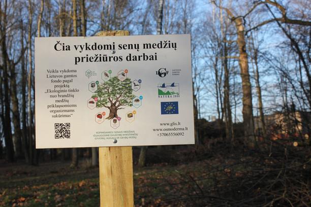 Kauno ąžuolyne bus tęsiami senųjų ąžuolų priežiūros darbai