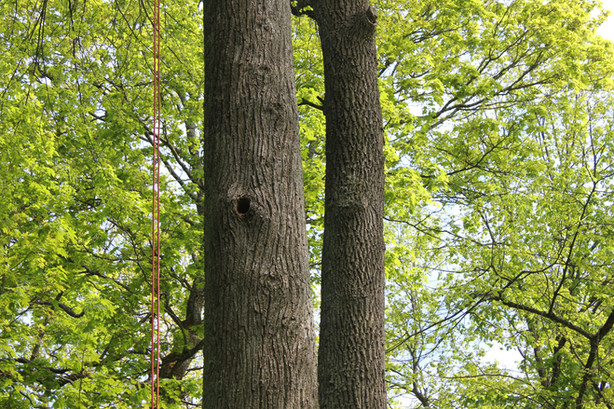 Kviečiame dalyvauti konkurse dėl ekologiniu požiūriu vertingų medžių tvarkymo paslaugų