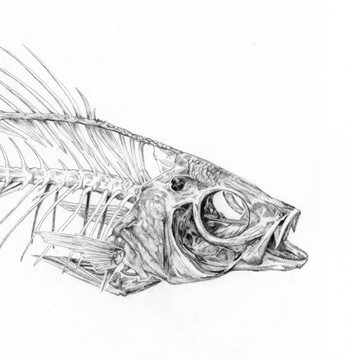 Perch skeleton
