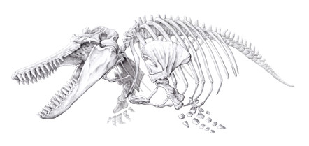 Skeleton of an orca, Orcinus orca