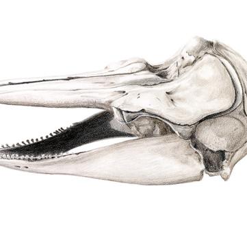Harbor porpoise skull - Phocoena phocoena