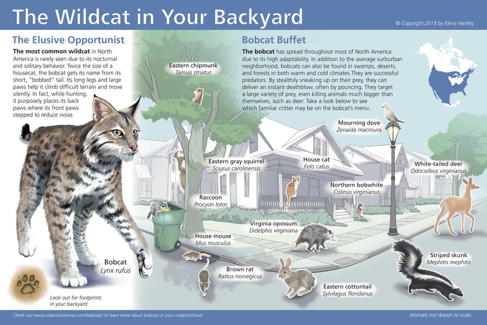 You may not seen them in your neighborhood, but Bobcats are on the prowl.
