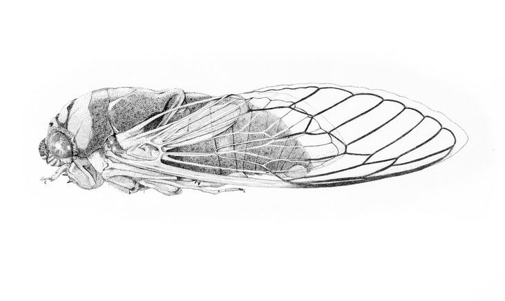 Walker's Cicada - Neotibicen pronotalis